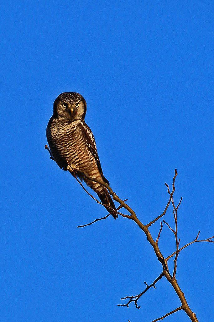 Northern Hawk Owl at Denali National Park